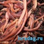 Где взять навозного червя для рыбалки в Израиле