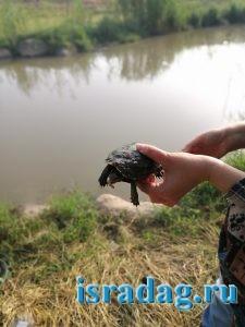 Пойманная на удочку черепаха на реке Иордан