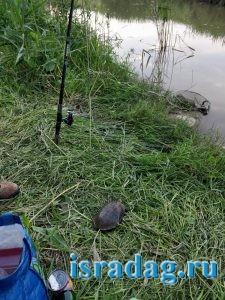 Пресноводная черепаха пойманная на реке Иордан