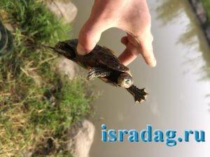 Пресноводная черепаха реки Иордан пойманная на удочку