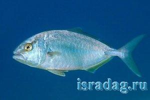 Рыба интиас Seriola_dumerili_Minorca s