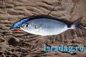 Рыба кхила облада
