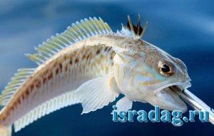Рыба морской дракон