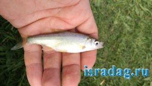 Рыба сардинка обитающая в реке Иордан в Израиле