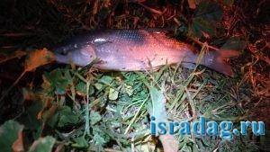 Рыба усач пойманнаяна реке Иордан в Израиле